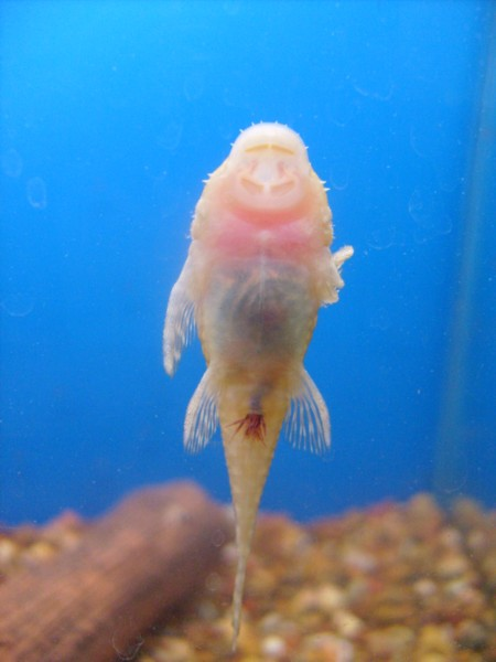 Plecoplanet Treat Camallanus Worms